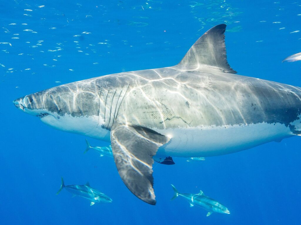 The Gulf of California May Be an Overlooked Home for Great White Sharks | Science